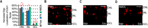 The localization of proliferating MG-derived progenitors by 6 dpi demonstrate injury-specific biases.Fish were given an injection of EdU 2 hours before harvesting at 6 dpi. (A) EdU+ cells were counted and the percentage of EdU+ nuclei residing in the ONL, INL, and GCL was determined for each injury model. Data represents means ± s.d. (n ≥ 3). *P < 0.02764. (B–D) Representative images of retinal sections analyzed in (A) that were stained for EdU following (B) needle poke, (C) PA or (D) NMDA injury. Scale bar is equal to 50 μm. Abbreviations are as in Fig. 1.