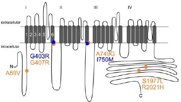 Human Cav1.3 mutations associated with ASD and PASNA. The transmembrane domain structure of Cav1.3 α1-subunit is illustrated. α1-subunits of voltage gated Ca2+ channels consist of four homologous repeats (I-IV), each comprising six transmembrane segments. Segments 1-4 of each domain form the voltage-sensor whereas segments 5 and 6 build the pore and activation gates. ASD-associated Cav1.3 mutations are highlighted in orange [68, 69, 117], PASNA-linked mutations shown in blue [70]. A59V, S1977L, and R2021H have not yet been analyzed functionally.