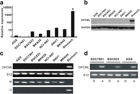 OPCML was decreased or lost by promoter methylation in gastric cells (a) and (b) The significant reduction of OPCML mRNA expression by real-time PCR and protein expression by western blot in seven gastric cancer cell lines, compared with normal stomach tissues. c OPCML mRNA expression by RT-PCR and promoter methylation by MSP in gastric cancer cell lines. d Changes of OPCML mRNA expression in gastric cancer cell lines after 5-aza-2′-deoxycytidine treatment. D: DMSO; A: 5-aza-2′-deoxycytidine. * P < 0.0001