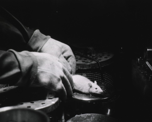 <p>A pair of gloved hands hold a small white rat in a germ-free environment.</p>