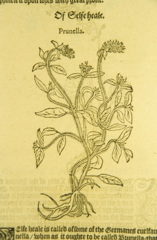 <p>Woodcut of the prunella plant.</p>