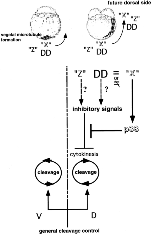 "The asymmetric p38 activation is required for symmetric and synchronous cleavage in zebrafish. ""X,"" unknown factor(s) transported from the vegetal pole through the vegetal microtubule array. DD, dorsal determinants; and ""Z,"" putative signal(s) transported from the vegetal pole through the vegetal microtubule array that compete with p38. V, ventral side; D, dorsal side."