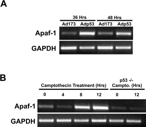 p53-mediated induction of Apaf1 mRNA in neurons. (A) RNA was extracted from neurons 36 or 48 h after infection with Ad-p53 or Ad-p53-173L and analyzed for Apaf1 or GAPDH expression using semiquantitative RT-PCR. (B) RNA was extracted from wild-type or p53-deficient neurons at the indicated times after treatment with 10 μM camptothecin and analyzed for Apaf1 or GAPDH expression using semiquantitative RT-PCR.