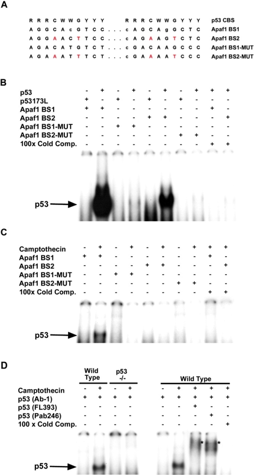 Specific binding of p53 to Apaf1 promoter elements in neuronal extracts. (A) Comparison of p53 consensus binding sequence (p53 CBS; el-Deiry et al., 1992), with two putative p53 recognition sequences located in the Apaf1 promoter (Apaf1 BS1 and BS2). The sequence of the corresponding mutated versions of these oligonucleotides (Apaf1 BS1-mut and BS2-mut) used in the electrophoretic mobility shift assays are also indicated. (B) Protein was extracted from neurons 48 h after infection with Ad-p53 or Ad-p53-173L and p53 binding activity to the Apaf1 promoter elements was assayed by electrophoretic mobility shift assay. Binding reactions were carried out with neuronal extracts (10 μg protein) and the indicated oligonucleotides in the presence of p53 antibody (pAb1). (C) Cell extracts (20 μg protein) obtained from untreated neurons or neurons exposed to camptothecin (10 μM) for 12 h were tested for p53 binding activity to the Apaf1 promoter elements as described above. (D) Specificity of p53 binding activity to the Apaf1 promoter was examined in p53+/+ and p53−/− neurons treated with camptothecin. Supershifts with two antibodies directed against p53 were carried out on p53+/+ neurons to further confirm the presence of p53 binding to the Apaf1 promoter.