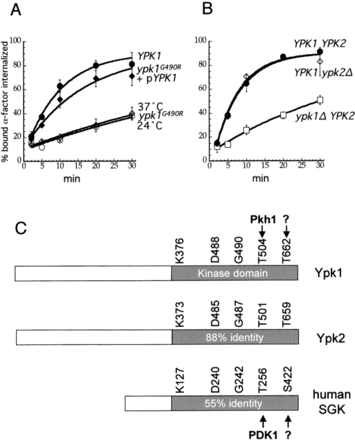 Ypk1 is required for α-factor internalization. (A and B) Internalization of 35S-α-factor was measured by the continuous presence protocol at 37°C (except where noted) after growth in YPUAD. ypk1G490R cells are the same as udi5–1 cells. (A) YPK1 (LHY291, •); ypk1G490R (LHY2543 ⋄); ypk1G490R with pYPK1, a centromeric plasmid (LHY2712, ♦); ypk1G490R (LHY2543, ○, at 24°C). (B) YPK1 YPK2 (LHY2632, •); ypk1Δ YPK2 (LHY2536, □); YPK1 ypk2Δ cells (LHY2633, ⋄). (C) Schematic diagrams of Ypk1, Ypk2 (68% identical to Ypk1), and human SGK (50% identical to Ypk1). Residues mutated in this study and their counterparts in Ypk1 homologues are shown. The percent identity of the kinase domains is shown in the gray box. Phosphorylation sites are indicated with an arrow with known kinases noted.