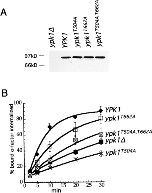 The conserved phosphorylation sites of Ypk1 are required for α-factor internalization. (A) Extracts of ypk1Δ cells expressing HA-tagged wild-type Ypk1, Ypk1T504A, Ypk1T662A, or Ypk1T504A,T662A . (B) The same cells used in A were grown and assayed as in Fig. 1: ypk1Δ (LHY2536, ▪); YPK1 (LHY2563, ♦); ypk1T504A (LHY2568 X); ypk1T662A (LHY2567, □); ypk1T504A,T662A (LHY2569, ⊠).