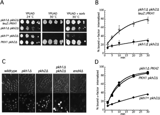 Pkh kinases are required for receptor-mediated and fluid-phase endocytosis. (A) Growth of pkh1Δ pkh2Δ cells and pkh1Δ pkh2Δ leu2::PKH1 cells from the same tetrad (LHY2716 and LHY2714, respectively) or pkhts (pkh1D398G pkh2Δ) cells (LHY3030) and an isogenic pkh2Δ strain (LHY3032) on YPUAD at 24°C or 30°C or on YPUAD + 1.2 M sorbitol at 30°C after 4 d. The differences in strain background between the two pkh mutants are likely to account for the difference in suppression of the growth defect on sorbitol medium. (B) The same pkh1Δ pkh2Δ (♦) and pkh1Δ pkh2Δ leu2::PKH1 (⋄) strains as in (A) were grown overnight in YPUAD + 1.2M sorbitol. Internalization of 35S-α-factor was measured by the continuous presence protocol at 30°C in YPUAD + 1.2 M sorbitol. (C) LY localization was assayed for wild-type cells (LHY2762), pkh1Δ cells (LHY2759), pkh2Δ cells (LHY2760), pkh1Δ pkh2Δ cells (LHY2716), and end4Δ cells (LHY37). Cells were grown to early logarithmic phase in YPUAD + 1.2 M sorbitol at 24°C, shifted to 30°C for 15 min, and then incubated with LY at 30°C for 60 min. Images were taken using DIC optics (top) and fluorescence optics (bottom). The pkh1Δ pkh2Δ cells that are brightly stained throughout the whole cell are probably lysed cells. (D) pkh1Δ cells (LHY3031, •), pkh2Δ cells (LHY3032, ▪), and pkhts cells (LHY3030, ♦) were grown overnight in YPUAD. Internalization of 35S-α-factor was measured by the continuous presence protocol at 30°C in YPUAD.