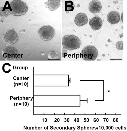 Formation of secondary sphere. (A, B) Secondary spheres were generated after the dissociation of primary spheres derived from peripheral or central keratocytes. Scale bar=100 μm. (C) The re-plating efficiency from primary to secondary colonies was higher for spheres derived from the peripheral stroma than for those from the central stroma (p=0.000025, unpaired t-test).