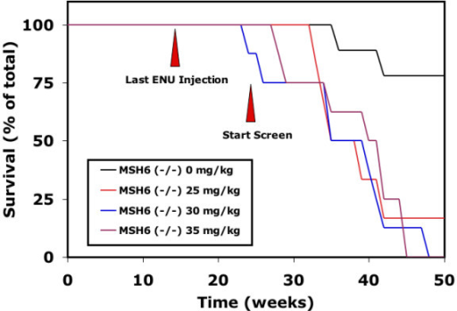 Effect of ENU on the survival of msh6-/- males. Msh6-/- male rats show an increased mortality after treatment with different concentrations of ENU compared to untreated msh6-/- male rats. Survival of untreated and ENU-treated wild type rats is 100% in the indicated time-period (data not shown). Red arrowheads indicate the time points of the last ENU injection and the start of mating for F1 progeny that can be screened for mutations without risk for chimaeric progeny.