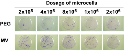 The MV fusogen is more efficient than PEG for microcell hybrid production. Microcells collected from 24 flasks (~5 × 106) were fractionated into 5 dosing amounts (2 × 105, 4 × 105, 8 × 105, 1 × 106, 2 × 106) and added to (MV), or fused with (PEG), 2 × 106 of HT1080 cells in a 60-mm dish. On the following day, fused cells were plated onto two 100-mm dishes. Following selection culture for 14 days, drug-resistant colonies were stained with Giemsa and photographed.