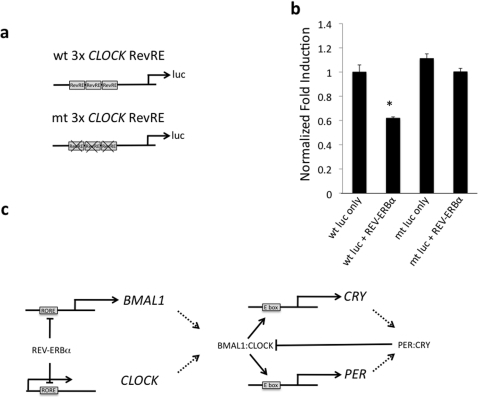 Identification of a functional RevRE within the CLOCK gene using reporter-luciferase assays.(a) The reporter constructs contain a three-times repeat of the putative CLOCK RevRE cloned upstream of the firefly luciferase gene. (b) REV-ERBα was co-transfected with a luciferase reporter containing the wild-type 3×RevRE leading to reduced expression of luciferase relative to the reporter alone. The expression of luciferase from the mutant 3×RORE was unaffected by REV-ERBα co-transfection. Data shown is mean ± SEM, n = 8. *, p<0.05. (c) Proposed model for coordinated regulation of BMAL1/CLOCK heterodimers.