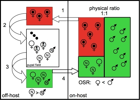 Schematic diagram comparing parasite demography on-host (right panel), and off-host (left panel).On-host a physical ratio of 1∶1 is observed. Red rectangle represents females with developing offspring, which are not available for reproduction. Females within green rectangle are a mixture of returning females, and teneral females (N). The green rectangles (male and female) on-host represent the operational sex ratio (OSR), which is likely male biased. Off-host, depositing females leave the hosts (1), and arrive at the pupal field (2), where they give birth to their offspring. Some die due to predation (skull), while new females and males emerge leave the field (3) and return to the general host population (4). Mating ensues, and females become unavailable for mating. The ratio of males and females at emergence is skewed towards females.
