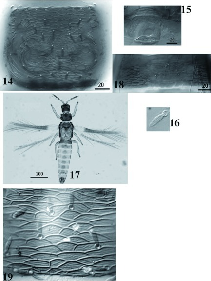 Charassothrips macroseta male. 14, Pronotum. 15, Glandular pore. 16, Forewing seta broad and grooved longitudinally. 17, Habitus. 18, Tergite III with craspedum. 19, Pronotal disc with polygonal sculpture well developed, with internal markings. High quality figures are available online.