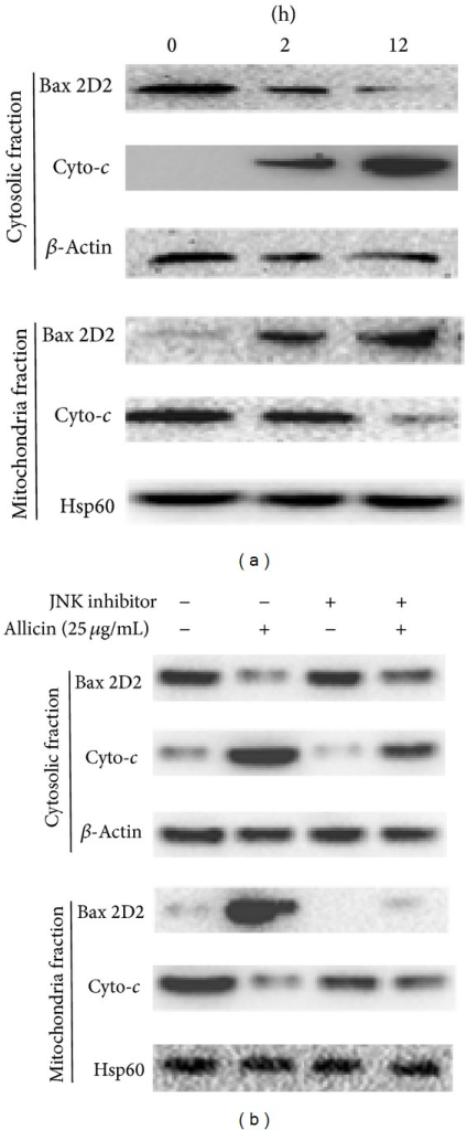 Western blot analysis showing cytochrome c and Bax levels in response to allicin. (a) SKOV3 cells were treated with 25 μg/mL of allicin for 12 h. Subsequently, cytosolic and mitochondrial fractions were prepared and western blot analysis was carried out (20 μg of protein) as described in Materials and Methods. (b) Pretreatment with or without the JNK inhibitor SP600125 for 30 min, followed by treatment with allicin for 12 h to analyze Bax and cytochrome c. Data are representative of three independent experiments showing a similar pattern of expression. β-Actin and Hps60 were used as internal control.
