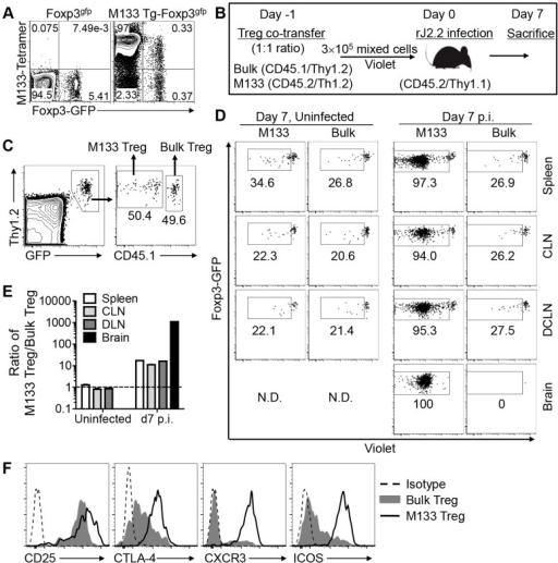 M133 Tregs, but not bulk Tregs proliferate and are recruited to the brains of rJ2.2-infected mice.(A) Blood was obtained from B6-Foxp3gfp and M133 Tg-Foxp3gfp mice and analyzed for presence of M133-specific Tregs and Tconv using I-Ab/M133 tetramers. Representative plots after gating on CD4 T cells are shown. (B) Experimental design. Bulk and M133 Tregs were purified by flow cytometry from the spleen and LNs of Foxp3gfp and M133 Tg-Foxp3gfp mice, respectively, mixed at a 1∶1 ratio and labeled with Violet. A total of 3×105 cells were transferred to CD45/Thy1 congenic mice one day prior to infection with rJ2.2. (C) Gating strategy for identification of M133 and bulk Tregs in recipient mice is shown. (D) Representative plots showing proliferation of cells in the indicated tissues at day 7 p.i. The box in each panel indicates cells that have proliferated. N.D., not detectable. Percentages of divided cells are shown. (E) The ratio of M133 Treg/bulk Treg is shown. The data are representative of three independent experiments (A, C, D) or pooled from three experiments (E). (F) 2×105 M133 or Bulk Tregs were transferred to Thy1.1 mismatched mice and expression levels of indicated markers on transferred cells in the DCLN at day 4 p.i. are shown. To analyze bulk Tregs, cells from 5 recipient mice were pooled. Data are representative of analyses of three individual recipients (M133 Tregs) and 2 pooled samples (bulk Tregs).