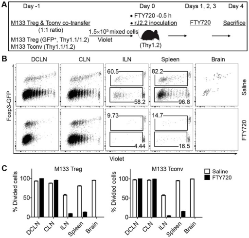 M133 Tconv and Treg proliferation occurs in DCLN and CLN after FTY720 treatment.(A) Experimental design. M133 Tregs and M133 Tconv were mixed at a 1∶1 ratio and labeled with Violet. 1.5×105 cells were transferred to Thy1 congenic mice one day prior to infection with rJ2.2. Mice were treated with FTY720 or saline 0.5 hour prior to infection and on days 1, 2, 3 p.i. (B) Representative plots showing Violet dilution at day 4 p.i. Numbers are percentage of divided Tregs (upper) or Tconv (lower). (C) Summary of data from three independent experiments with three mice in each.