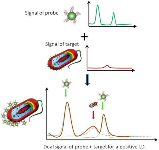 Schematic illustration of a dual recognition mechanism for surface enhanced Raman spectroscopic (SERS) pathogen detection; the superimposed bacterial signature peaks and probe signatures peaks indicate the binding between the bacterial target and the nanoprobes.