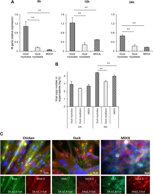 Infected duck myotubes show higher levels of accumulation of virus M gene RNA than do the corresponding myoblasts or MDCK cells. (A) Duck myotube, duck myoblast, and MDCK cell cultures were infected with LPAI H2N3 virus at a MOI of 0.1. Duck myotubes had significantly (P < 0.005) higher levels of intracellular viral M gene RNA (normalized to the 18S RNA gene) than did myoblasts and MDCK cells at 6 h, 12 h, and 24 h of infection. (B) Duck myotubes also accumulated the most viral M gene RNA in culture supernatants by 24 h of infection. Results show the means of data from three biological replicates, with error bars indicating standard deviations. One-way analysis of variance followed by Tukey's multiple-comparison test was used (**, P < 0.005). (C) Chicken and duck muscle cells (myotubes and myoblasts) and MDCK cells coexpressed avian and human sialic acid receptor types. The human α-2,6-linked sialic acid receptor (green) and avian α-2,3-linked sialic acid receptor (red) were detected with Sambucus nigra agglutinin (SNA) and Maackia amurensis agglutinin II (MAA II) lectins, respectively. Nuclei were counterstained by using DAPI (blue). Merged and individual fluorescent images show extensive expression of both receptors in all three cell types.