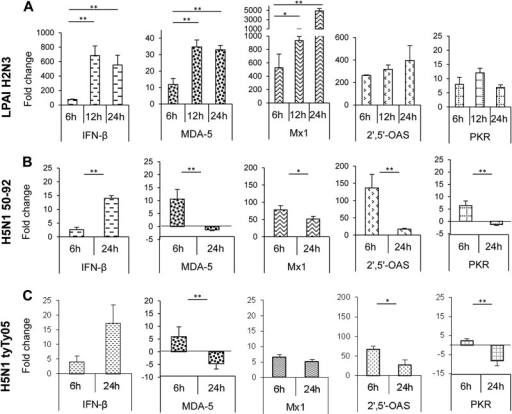 LPAI H2N3 virus induces a more vigorous antiviral response than do HPAI H5N1 viruses in chicken myotubes. (A) Chicken myotubes infected with LPAI H2N3 virus at a MOI of 1.0 induced a strong upregulation of IFN-β, which correlated with the upregulation of the viral RNA sensor MDA-5 as well as the IFN-inducible Mx1, 2′,5′-OAS, and PKR genes. (B and C) However, with HPAI H5N1 50-92 (B) and HPAI H5N1 tyTy05 (C) viruses, both at a MOI of 1.0, the level of IFN-β mRNA induction was <20-fold, considerably lower than that for the corresponding LPAI H2N3 virus infection (A). In contrast to LPAI H2N3 virus infection (A), HPAI H5N1 50-92 (B) and HPAI H5N1 tyTy05 (C) viruses at 24 h p.i. downregulated the expression of the MDA-5 and PKR genes and elicited much weaker induction of Mx1 and 2′,5′-OAS gene expression. mRNA levels were normalized to the 18S rRNA gene and are expressed as fold changes in relation to uninfected controls at each p.i. time point. The fold change for each gene is the mean of data from three biological replicates, with error bars indicating standard deviations. A significant increase or decrease in mRNA levels between 6 h p.i. and later times of infection was calculated by a two-sample unpaired t test (*, P < 0.05; **, P < 0.01).