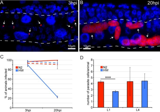 Age- and strain-dependent variation in clearance of N. parisii infection.(A) Early N. parisii sporoplasms in an N2 animal 3 hpi, fixed, and stained for DNA with DAPI (blue) and for N. parisii rRNA with FISH (red). (B) N. parisii multi-nucleate meronts in an N2 animal 20 hpi. (A, B) Arrows indicate individual parasite cells, dotted white line indicates the intestine. (C) Percentage of animals that are infected at 3 hpi and 20 hpi. Solid lines show percentages when animals are inoculated at the L1 stage, and dashed lines show percentages when animals are inoculated at the L4 stage. The mean percentage of each condition from three independent experiments is shown with error bars as SD. Each experiment had at least 100 animals per condition. (D) Mean number of parasite cells measured by FISH 3 hpi in infected L1 and L4 stage animals from three independent experiments with error bars as SD. Asterisks indicate significance (P<0.001) by t-test. Each experiment had at least 100 animals per condition.