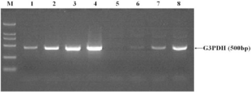 Analysis of subtracted cDNA library (Reduction of G3PDH abundance showed high subtraction efficiency). Unsubtracted secondary PCR product (lanes 1-4) and subtracted (lanes 5-8). DNA Marker DL2,000 (lane M). 18 cycles (lanes 1, 5). 23 cycles (lanes 2, 6). 28 cycles (lanes 3, 7). 33 cycles (lanes 4, 8)
