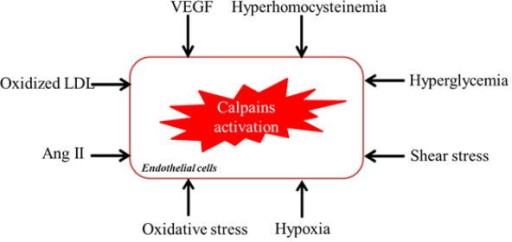Schematic representation of the risk factors for calpains activation in the ECs. Ang II, angiotensin II; LDL, low density lipoprotein; VEGF, vascular endothelial growth factor.