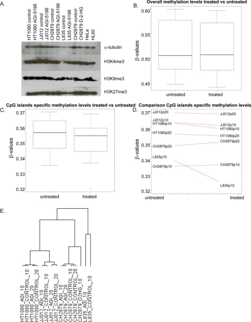 The effect of long term mutant IDH1 inhibition on histone and DNA methylation and gene expression(A) Western blot showing levels of trimethylation of Histone H3 K4, K9 and K27 after treatment with 1.5 μM AGI5198 or 5 mM D-2-HG for 10 or 20 passages. Treatments did not have an effect on trimethylation of each of the lysines in the mutant IDH1 chondrosarcoma cell lines. (B) Global methylation levels after prolonged treatment with AGI-5198 remain unchanged, with overall mean β-values of both treated and untreated samples of approximately 0.5. (C) When analyzing the CpG islands specific probes separately, minimal demethylation of the genome is seen. (D) Differences in CpG island specific methylation levels are predominantly seen in the L835 cell line treated for 10 passages. (E) Unsupervised hierarchical clustering of all expressed genes in the RNAseq dataset showed that the expression profiles of the cell lines are not dramatically changed by the treatment, since expression profiles of the treated cell lines are more similar to their untreated counterparts than to other treated cell lines. Samples were labelled according to the cell line, followed by the treatment (AGI=treated with 1.5 μM AGI-5198; CONTROL=treated with DMSO) and the number of passages (10=10 passages of continuous treatment; 20=20 passages of continuous treatment).