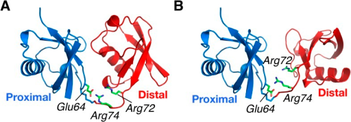 Structural basis for the perturbation of K63-Ub2 conformational space upon E64RP mutation.Representative (A) C1 and (B) C2 closed-state structures. Glu64 in the proximal unit opposes Arg72 and Arg74 in the distal unit, shown as sticks. Judging from the structures, the charge reversal mutation could have a larger impact on the stability of C1 closed state than on C2 closed state of K63-Ub2.DOI:http://dx.doi.org/10.7554/eLife.05767.021