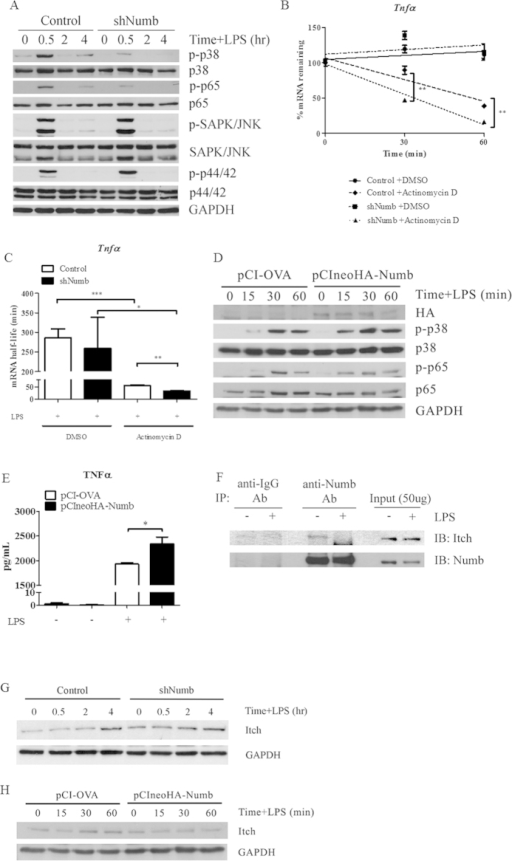 Effect of silencing Numb on activation of MAPK and NF-κB pathways in activated macrophages and the interaction of Numb and Itch.(A) After stimulation with LPS for indicated times, phosphorylation levels of NF-κB p65, p38, ERK1/2, and JNK MAPK from GFP+ macrophages were analyzed. Data are representative of two independent experiments. (B,C) GFP+ macrophages containing control (open bars) or shNumb (closed bars) vectors were stimulated with LPS for 1 hr prior to treatment with DMSO or with actinomycin D to inhibit mRNA synthesis. The relative amount of remaining Tnfα mRNA was measured by qPCR. Half-life of Tnfα mRNA was calculated using linear regression line equations and shown in (C). Data are the mean ± SEM from representative of two independent experiments performed in triplicates. (D) RAW264.7 cell line was transiently transfected with the control plasmid or pCIneoHA-Numb and stimulated with LPS as indicated. p38 MAPK and NF-κB p65 were detected by immunoblotting. (E) RAW264.7 cell line transfected with the control plasmid or pCIneoHA-Numb were stimulated with LPS for 1 hr. The amount of TNFα was measured by ELISA. (F) Co-immunoprecipitation of endogenous Numb from unstimulated or LPS-stimulated macrophages was analyzed by immunoblotting. (G) Expression of Itch in macrophages containing control or shNumb vector was detected by immunoblotting following LPS stimulation. (H) RAW264.7 cell line transfected with the control plasmid or pCIneoHA-Numb were stimulated with LPS for the times indicated and the level of Itch was detected by immunoblotting.