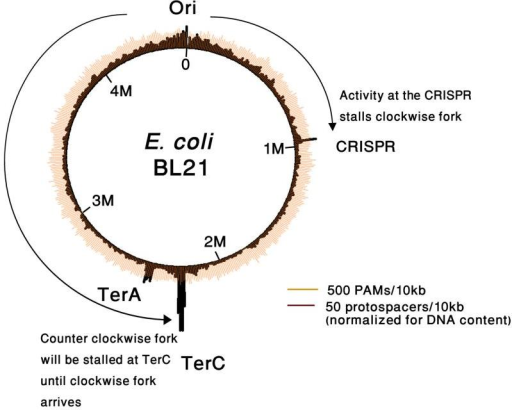 A model explaining the preference for spacer acquisition near TerC as compared to TerA in E. coli BL21-AIThe DNA manipulation at the CRISPR region forms a replication fork stalling site, and leads to extensive spacer acquisition upstream to the CRISPR. While the clockwise fork is stalled at the CRISPR, the counterclockwise fork reaches the Ter region and is stalled at the respective Ter site, TerC, leading to extensive spacer acquisition upstream to TerC. Another factor that can contribute to the observed TerC/TerA bias may be that the clockwise replichore in E. coli (oriC to TerA) is longer than the counter clockwise one (oriC to TerC), leading the forks to stall at TerC more often than at TerA.