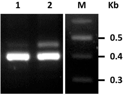 The protein product of T7 gene 5.9 inhibits spacer acquisition activityE. coli BL21-AI strains harboring pBAD-Cas1+2 and pBAD33-gp5.9 (lane 1) or pBAD33 vector control (lane 2) were grown overnight in the presence of inducers (0.4% L-arabinose). Gel shows PCR products amplified from the indicated cultures using primers annealing to the leader and to the fifth spacer of the CRISPR array. Results represent one of three independent experiments.