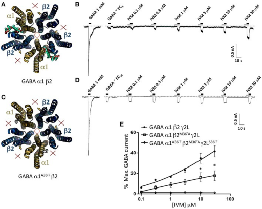 Effects of ivermectin on α1β2 and α1A36′Fβ2 GABAARs. (A) Structural model of α1β2 showing the location of the ivermectin binding sites. (B) Sample recording showing the effect of increasing ivermectin concentrations on EC10 GABA-gated currents in α1β2 GABAARs. (C) Structural model of α1A36′Fβ2 showing the lack of ivermectin binding sites. (D) Sample recording showing the effect of increasing ivermectin concentrations on EC10 GABA-gated currents α1A36′Fβ2 GABAARs. (E) Mean concentration-response data for the experiments as shown in (B,D). *Represents significance of t-test P < 0.05.