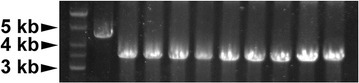 Cre-mediated excision of the selectable marker. After Cre induction and incubation, potential Δgnp::lox72 mutants were inspected by PCR testing using primers gnp-testA and gnp-testB. Lane 1 shows DNA ladder, lane 2 was the Δgnp::cat strain. Lanes 3–11 were tested colonies, with marker-free mutants expected to generate amplicons of ∼3.2 kb