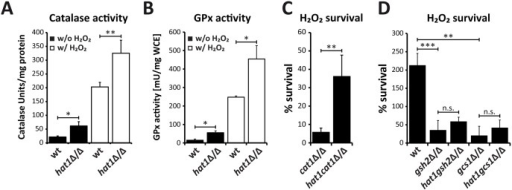 Loss of Hat1 raises antioxidant enzyme activity and glutathione-mediated H2O2 resistance.(A) Faster CAT1 induction increases catalase activity in hat1Δ/Δ cells. Catalase activity was determined in whole cell extracts isolated from cells before and after H2O2 treatment. Data are shown as mean + SD from three independent experiments. (B) Loss of Hat1 leads to increased glutathione peroxidase activity. GPx activity was determined in whole cell extracts isolated from cells before and after H2O2 treatment. Data are shown as mean + SD from two independent experiments. (C) Lack of CAT1 does not abolish Hat1-mediated H2O2 resistance. Cells of the indicated strains were treated with 1 mM H2O2 for 2 hours, plated and colonies counted after 3 days of incubation on YPD plates at 30°C to determine viability. Data are shown as mean + SD from three independent experiments. (D) Depletion of glutathione biosynthesis abolishes Hat1-mediated H2O2 resistance. Cells of the indicated strains were treated with H2O2 for 2 hours and plated on YPD plates containing glutathione. Colonies were counted to determine viability after growth for 3 days at 30°C. Data are shown as mean + SD from three independent experiments. (A-D) n.s.: not significant, *P<0.05, **P<0.01 and ***P<0.001 relative to the corresponding control (Student's t-test).
