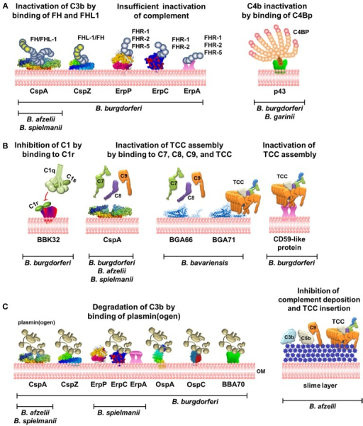 Complement evasion strategies of LD spirochetes. (A) Inhibition of the AP and CP by binding of complement regulators FH and FHL-1 to CspA and CspZ or C4Bp to p43. Binding of FHRs to ErpP, ErpC, and ErpA does not terminate complement activation. (B) Inhibition of the CP and TP by direct interaction of diverse borrelial proteins produced by distinct genospecies with C1r or late complement components. (C) Inactivation of C3b by binding of plasmin(ogen) by diverse borrelial proteins and prevention of complement deposition by the production of a mucoid layer. OM, outer membrane; TCC, terminal complement complex; FH, Factor H; C4Bp, C4b-binding protein.