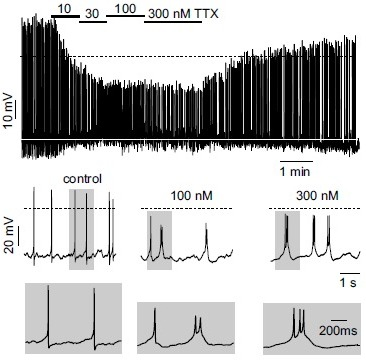 TTX leads to a dose-dependent switch into burst firing of MCCs. Top, representative current-clamp trace showing the action of increasing TTX concentration. Middle and bottom. better view of the effects of increasing TTX concentrations on AP waveforms and firing patterns at slower and faster (grey windows) time scales. Periods of activity were taken from the top panel (adapted from ref. [24]).