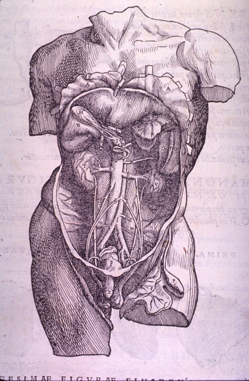 <p>Structures of the abdominal cavity with the intestines removed.</p>