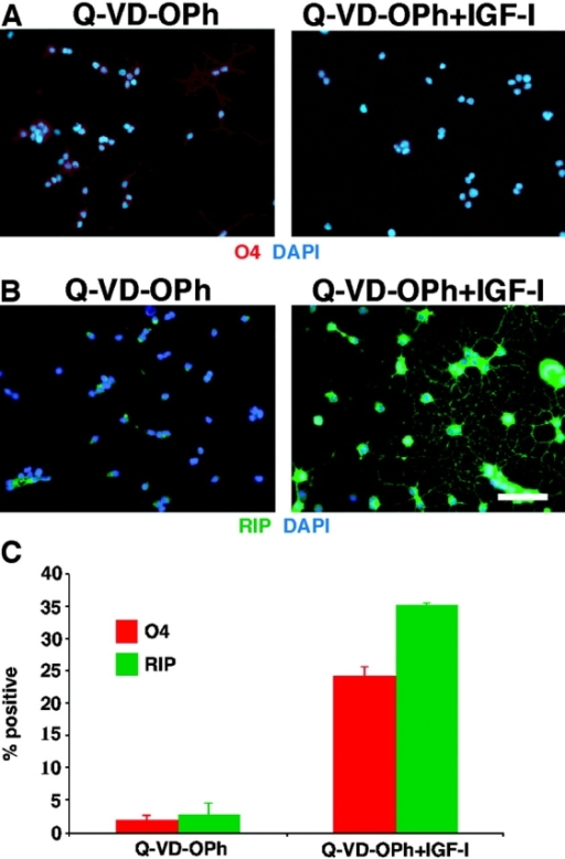 IGF-I–mediated increase in oligodendrocyte differentiation is independent of effects on neural progenitor cell survival in 2-d cultures. (A) Treatment of cells with 2 μM Q-VD-OPh resulted in a general absence of apoptosis in short-term cultures. The maintenance of cell survival is shown by a general persistence of cells and a lack of fragmented DAPI-stained nuclei, without obvious effects on cell proliferation or differentiation. Addition of 500 ng/ml IGF-I to the Q-VD-OPh–treated cultures mediated an increase in oligodendrocyte differentiation, as evidenced by O4 staining and morphological criteria. (B) Similar results were seen with RIP. (C) Quantification of O4 and RIP+ oligodendrocytes. Bar, 25 μm.