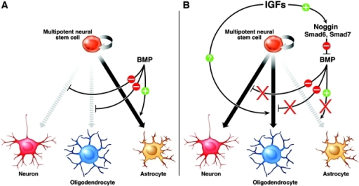 Proposed model for the role of IGFs in multipotent neural progenitor cell fate specification: oligodendroglial and neuronal fate commitment at the expense of astroglial fates? (A) BMP signaling has been shown to stimulate astroglial differentiation and inhibit neuronal and oligodendroglial differentiation. (B) Activation of the IGF-I receptor on multipotent neural progenitor cells by IGFs leads to the up-regulation of Noggin, Smad6, and Smad7. Because Noggin, Smad6, and Smad7 inhibit BMP signaling, the net effects of IGF signaling are a block in astrocyte differentiation and an induction of neuronal and oligodendroglial differentiation. Alternatively, IGF-instructive effects on oligodendrocyte differentiation could occur in a Noggin/Smad6, Smad7-independent pathway.