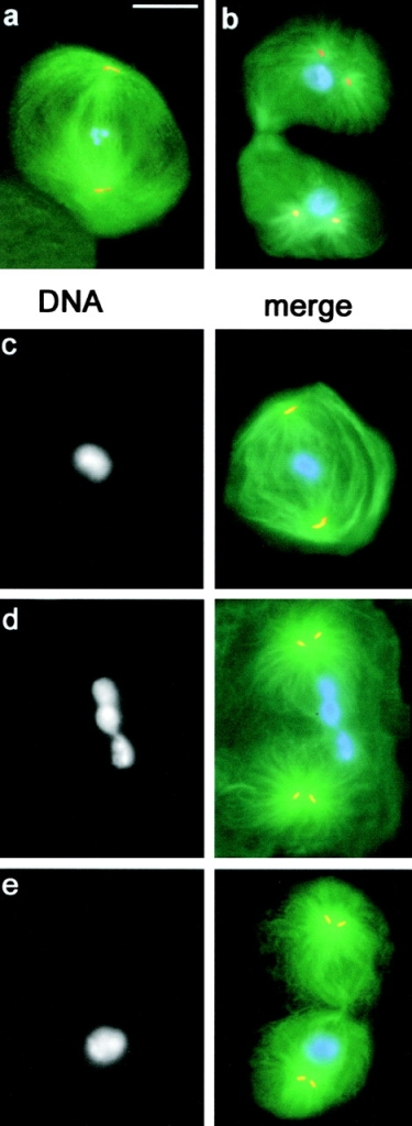First meiotic division in fsl mutant males. Cells were stained for tubulin (green), centrin (orange), and DNA (blue). (a and b) Meiotic division in wild-type males. (a) Metaphase I; (b) Late telophase I; (c–e) Meiotic division in fsl males. (c) Metaphase I; (d) Late telophase I with nonsegregating chromosomes at the center of the cell; (e) Late telophase I with all chromosomes segregating to only one of the two presumptive daughter cells. Bar, 10 μm.
