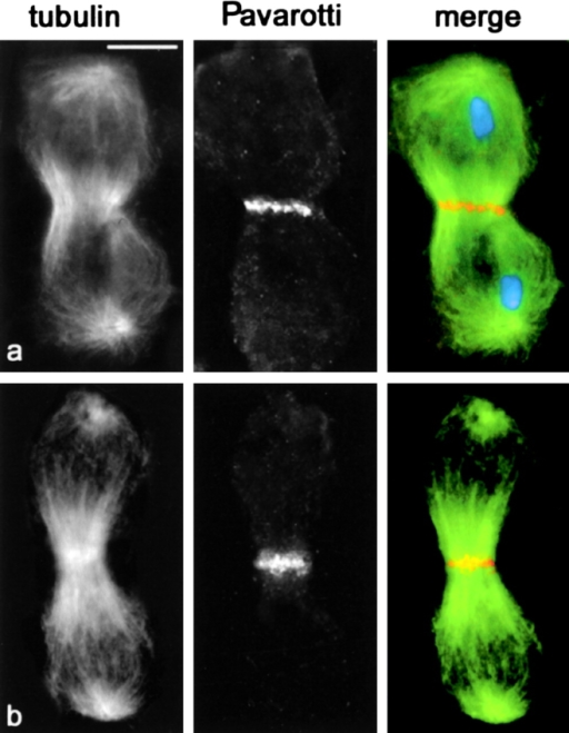 Pav accumulates at the central spindle midzone of chromosome-free telophases. Cells were stained for tubulin (green), Pav (orange), and DNA (blue). (a) Telophase II from wild-type males. (b) Chromosome-free telophase II from fsl mutants. Bar, 10 μm.