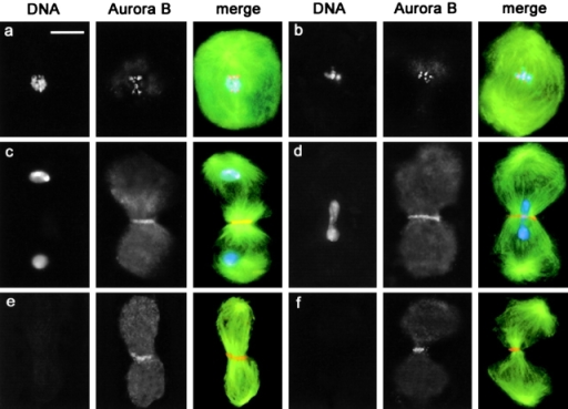 Aurora B distribution in wild-type and fsl spermatocytes. Cells were stained for tubulin (green), Aurora B (orange), and DNA (blue). (a) Wild-type metaphase I; (b) fsl metaphase I; (c) Wild-type telophase I; (d) fsl telophase I; (e) Chromosome-free fsl early telophase II; (f) Chromosome-free fsl late telophase II. Note that Aurora B concentrates in the central spindle midzone in the absence of chromosomes. Bar, 10 μm.