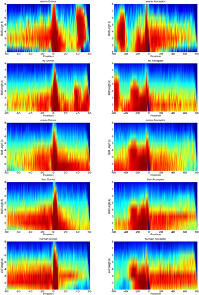 k-mer scoring matrices comparatively for worm, fly, cress, fish, and human. They depict the maximal position-wise contribution of all k-mers up to order 8 to the decision of the trained kernel classifiers, transformed into percentile values (cf. the section on interpreting the SVM classifier). Red values are highest contributions, blue lowest. Position 1 denotes the splice site and the start of the consensus dimer.