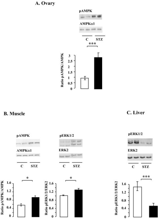 Effect of STZ treatment on the phosphorylation levels of AMPK and MAPK ERK1/2 in rat ovary (A), muscle (B) and liver (C). Lysates (50 μg) of ovary, muscle and liver from control and STZ-treated rats were resolved by SDS-PAGE, transferred to nitrocellulose membrane, and probed with anti-phospho-AMPK, phospho-MAPK ERK1/2 and then with anti-AMPKα1 and anti-ERK2 antibodies, respectively. Blots were quantified and the phosphorylated protein/total protein ratio is shown. Data are shown as means ± SE, with n = 6 for the control group and n = 12 for the STZ-treated group. *p < 0.05, *p < 0.001.