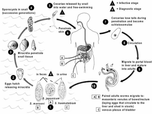 Parasitic Life Cycle Of Schistosoma Mansoni S Japonic Open I