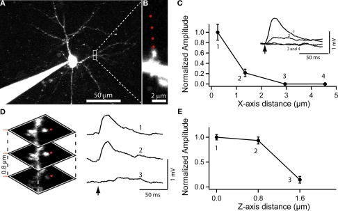 Use of RuBi-Glutamate uncaging to optically activate dendritic spines. (A) Layer 2/3 neuron loaded with Alexa-594 to detect dendritic spines. (B) Higher resolution image of a dendritic spine selected for uncaging. Red dots indicate the sites of uncaging. (C) Plot of the XY spatial resolution of uncaging from the spine shown in (B) (Inset, traces corresponded to averages of 15 uncaging potentials at the different locations [1–4; red dots in (B)]. (D) Spatial axial resolution of uncaging. Z-stack of images from the stimulated spine. Traces corresponded to averages of 15 uncaging potentials of its corresponding image stack. Red dots indicate the site of laser beam parking, not the actual size of the beam profile. (E) Plot of the axial resolution at the three different locations showed in (D).