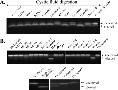 Effects of enzymes and inhibitors on cleavage of the RLQLKL ACPP in vitro. A, cleavage of 5 μm Cy5-labeled RLQLKL ACPP for 2 h with 2% cystic fluid obtained from PyMT tumors, in the absence of inhibitor or with 5 mm Ca-DTPA, 50 μm TPEN, 18 μm SB3CT (43), 50 nm GM6001 (also tested at 1 μm and no inhibition; data not shown), 0.26 μm prinomastat, 150 nm aprotinin, 10 μm E-64, 100 μm leupeptin, 1 μm pepstatin A, Calbiochem mixture III (diluted 1:1000), mixture III + DTPA. All inhibitors were used at the manufacturers' recommended concentrations, which should inhibit ≥95% of the target enzymes' activity. B, cleavage of RLQLKL ACPP for 2 h with 50 nm MMP-1, MMP-2, MMP-7, MMP-9, MMP-14, kallikrein 5, thrombin, plasmin, urokinase plasminogen activator, tissue plasminogen activator, factor VIIa, factor IXa, factor Xa, factor XIa, factor XIIa, trypsin (cathepsins B, G, L, and H), and neutrophil elastase. The percentage of cleavage measured with UVP software was 93.0 ± 2.9% for trypsin, 79.0 ± 2.8% for neutrophil elastase, 77.9 ± 2.1% for plasmin, 60% ± 2.3% for cathepsin G, 23.4 ± 2.5% for MMP7, 9.7 ± 1.1% for MMP1, and less than 3% for all other enzymes tested, including hepsin, enterokinase, and prostate-specific antigen (supplemental Fig. 4). MMP-8, MMP-13, matriptase, urokinase, and legumain also showed no cleavage (data not shown). Trypsin and trypsin-2 cleavage of various ACPP are also shown in supplemental Fig. 4.