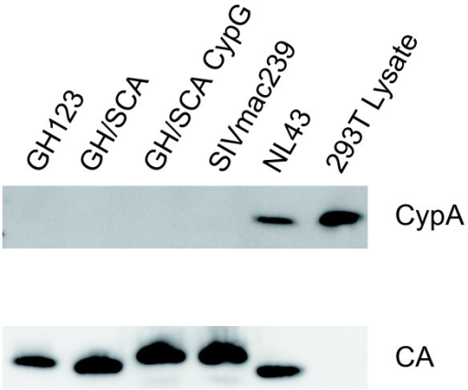 Western blot analysis of CA and CypA in particles of GH123, SIVmac239 and their derivatives. Viral particles from HIV-1 NL43, HIV-2 GH123, SIVmac239, and their derivatives were purified by ultracentrifugation through a 20% sucrose cushion. A total of 120 ng of p24 of HIV-1, p25 of HIV-2 GH123 derivatives or p27 of SIVmac239 derivatives was applied for gel electropholesis. Cyp A (upper panel) and CA (lower panel) were visualized by Western blotting (WB) using an anti-CypA antibody and serum from a SIV-infected monkey, respectively.