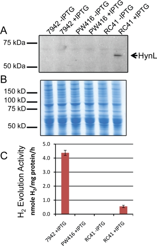Heterologous expression of AltDE hydrogenase HynSL in S. elongatus.A. Western blotting of protein extracts from S. elongatus cell cultures. Each lane contains 25 µg total proteins from cells treated with or without IPTG. The arrow indicates the position of the HynL band. B. Coomassie blue staining of a duplicate protein gel as in Panel A showing equal loading in each lane. C. Determination of the hydrogenase activity of the heterologously expressed HynSL. In vitro hydrogen evolution assays were performed on protein samples described in Panel A. Two controls, 7942-IPTG and PW416-IPTG, were not included since their activity levels are same as those from 7942+IPTG and PW416+IPTG, respectively. Error bars indicate standard deviations of the mean from at least three samples. The experiment was repeated at least three times with similar results.
