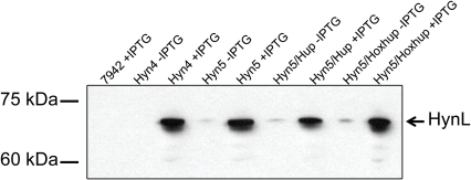 Detection of the T. roseopersicina hydrogenase large subunit HynL in S. elongatus.Western blotting was performed on protein extracts from S. elongatus strains (wild-type PCC7942, Hyn4, Hyn5, Hyn5/Hup, and Hyn5/Hoxhup) by using anti-HynL antisera. Hyn4/Hup was not included since the expression level in this strain was similar to that in Hyn4. Each lane contains 25 µg total proteins from cells treated with or without IPTG. Strain Hyn4 carries the T. roseopersicina genes hynSL, hynD, hupK, and hypC1C2DEF while strain Hyn5 carries the genes from Hyn4 as well as isp1 and isp2. Strain Hyn5/Hup contains the T. roseopersicina genes hupCDHIorf and the genes from Hyn5. Strain Hyn5/Hoxhup contains the T. roseopersicina genes hoxEFUYH in addition to the genes from Hyn5/Hup.